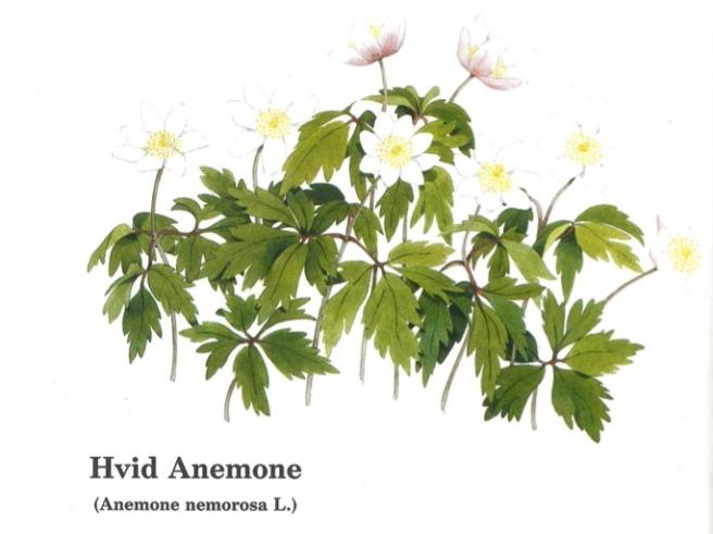 thumb_karen-kjaersgaard-anemone_1024